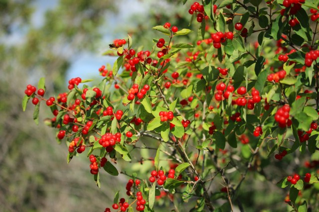 Bright red berries; possibly chokecherries