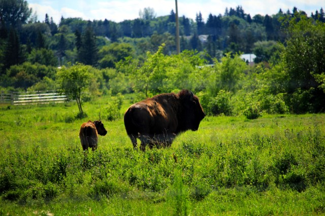 Bison at Minnedosa