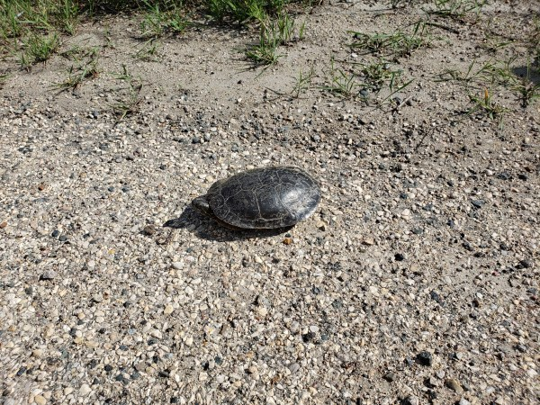 A turtle on Grand Valley Road