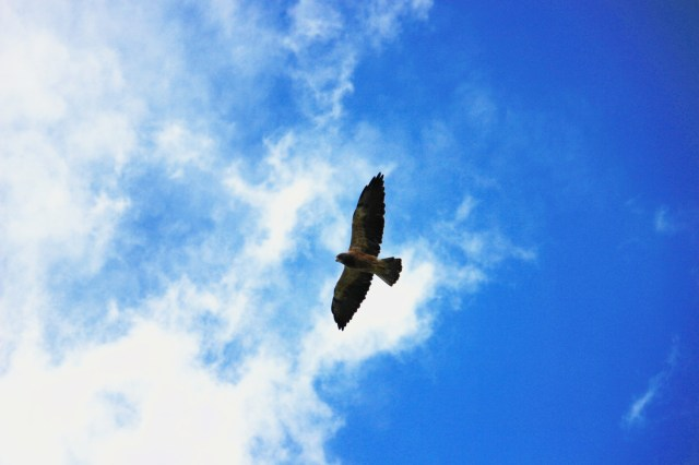 A hawk against the sky