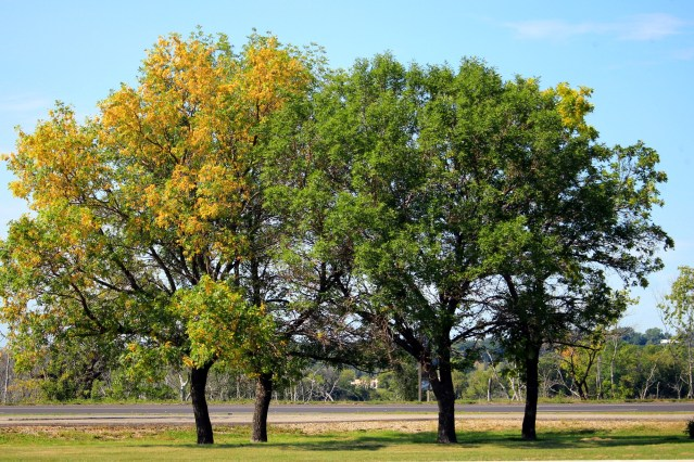 Four trees, growing in the median between two roads; two are yellow, two are still green