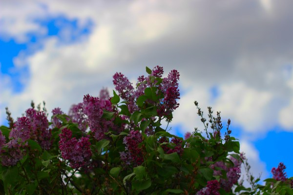 Lilacs in focus, sky blurred