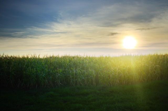 The sun over a cornfield