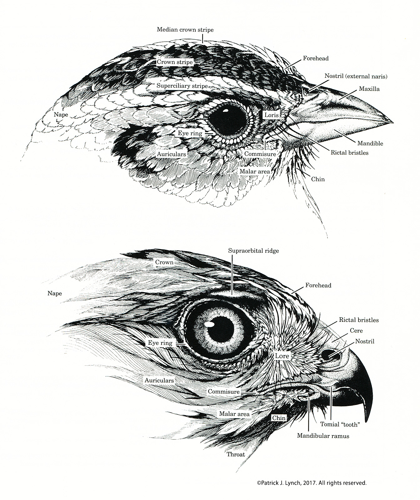 Bird Head Anatomy Cropped Patrick Lynch