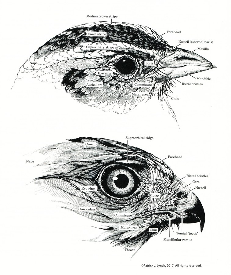bird-head-anatomy-cropped