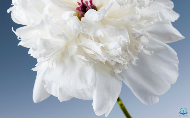 Oneness with Christ image showing one white rose flower