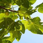 Though the fig tee does not blossom showing a branch with figs