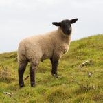royal priesthood showing a sheep