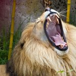 lion of the tribe of Judah showing an African lion