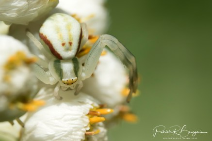 araignée crabe2 (1 sur 1)