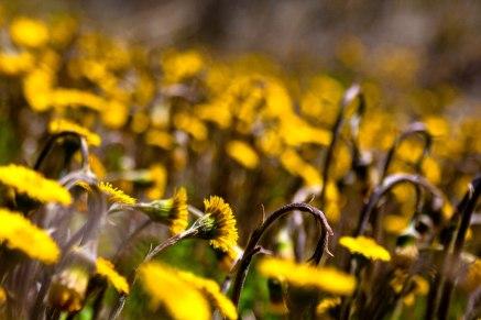 fleurs-pissenlits