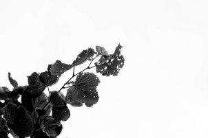 silhouette-feuille-trouee-boucherville