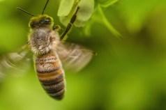 abeille (1 sur 1)