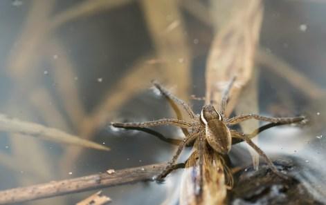 araignée dolomèdes4 (1 sur 1)