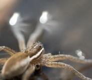 araignée dolomèdes8 (1 sur 1)