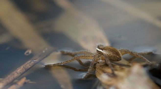 araignée dolomèdes9 (1 sur 1)