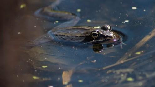 grenouille des bois (1 sur 1)