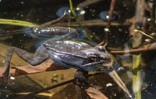 grenouille des bois 7 (1 sur 1)