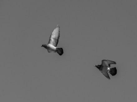 pigeons volent (1 sur 1)