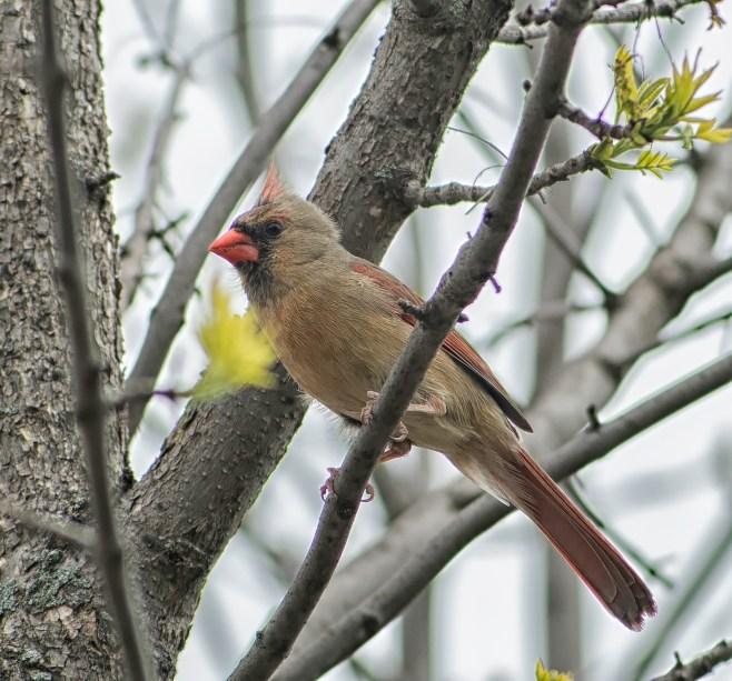 cardinal femelle (1 sur 1)