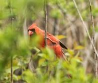 cardinal mâle (1 sur 1)