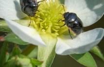coléoptères fleur2 (1 sur 1)