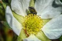 coléoptères fleur5 (1 sur 1)