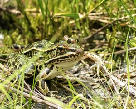grenouille à l'affut (1 sur 1)