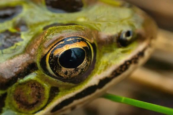 grenouille léopard3 (1 sur 1)