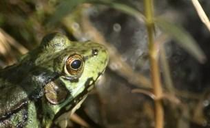 grenouille verte face (1 sur 1)
