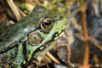 grenouille verte face2 (1 sur 1)