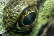 grenouille verte face3 (1 sur 1)