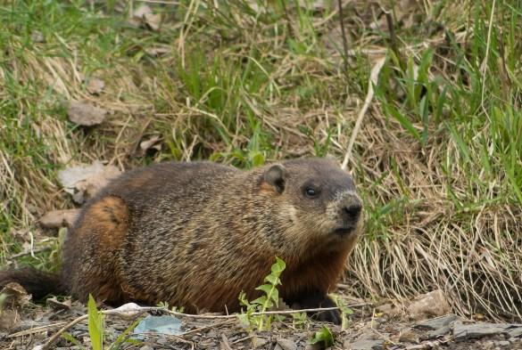 marmotte (1 sur 1)
