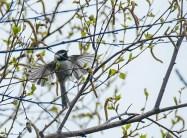 mésange vole (1 sur 1)