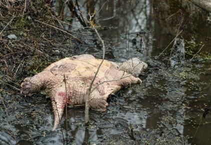 tortue serpentine morte (1 sur 1)