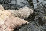 tortue serpentine morte2 (1 sur 1)