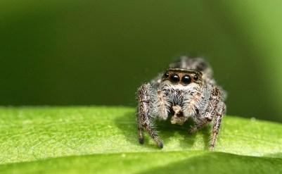 araignée sauteuse mange (1 sur 1)