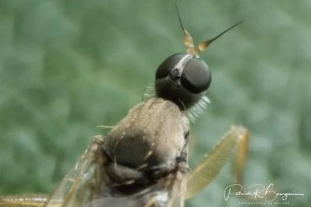 tête de mouche4 (1 sur 1)