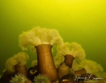 anémones plumeuses (1 sur 1)