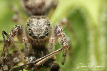 araignée sauteuse moustique (1 sur 1)