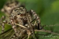 araignée sauteuse moustique3 (1 sur 1)