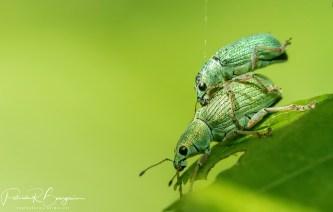 charançons vert pâle2 (1 sur 1)