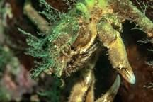 crabe décorateur2 (1 sur 1)