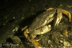 crabe noir (1 sur 1)