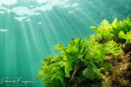 laitue de mer (1 sur 1)