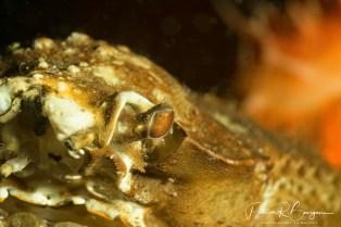 l'oeil du crabe araignée (1 sur 1)