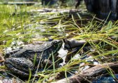 grenouille verte3 (1 sur 1)