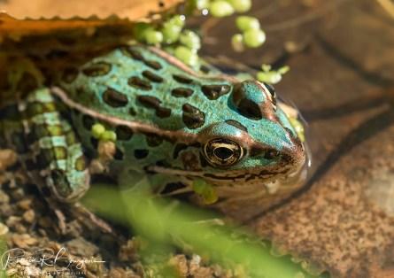 grenouille léopard bleue (1 sur 1)