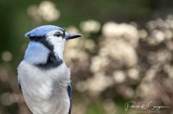 geais bleu profile (1 sur 1)
