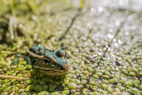 grenouille léopard bleue encore (1 sur 1)
